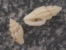 Mangelia stosiciana