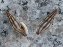 Mangelia striolata