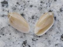 Volvarina capensis