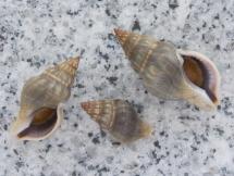Buccinulum corneum