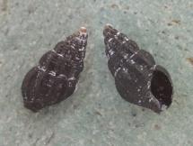 Chauvetia crassior