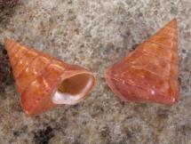 Calliostoma conulus
