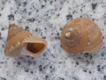 Calliostoma ornatum