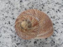 Calliostoma punctulatum