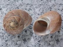 Calliostoma (Maurea) punctulatum