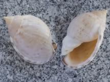 Semicassis labiata labiata