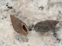 Anachis nigricans