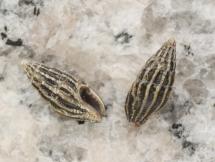 Anachis pardalis pardalis