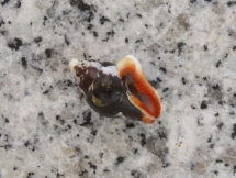 Columbella haemastoma