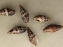 Mitrella elegans baileyi & Mitrella delicata