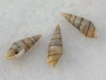 Mitrella essingtonensis