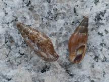 Mitrella gervillii