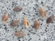 Pardalinops testudinaria
