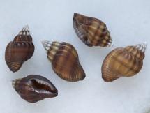 Pseudanachis duclosianus