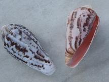 Conus mozambicus