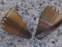 Conus biliosus parvulus