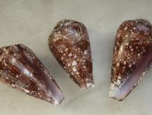 Conus dalli