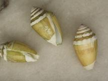 Conus doreensis