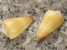 Conus ferrugineus