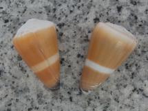 Conus flavidus