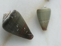Conus irregularis ibero-germanus
