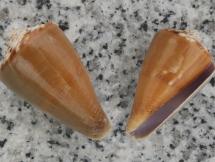 Conus juliae