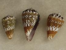 Conus mordeirae
