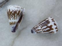 Conus nux