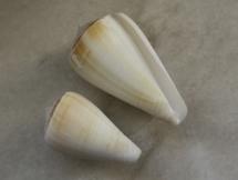 Conus tabidus