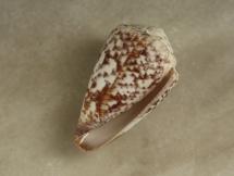Conus venulatus