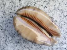 Cypraea arabica
