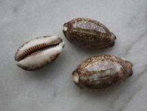 Cypraea arabica eglantina