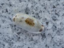 Cypraea cylindrica