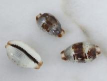 Cypraea erythraeensis