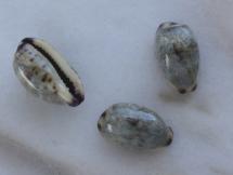 Cypraea gracilis