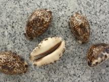 Cypraea arabica histrio