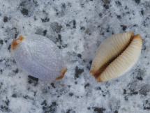 Cypraea limacina