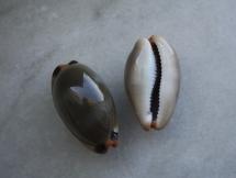 Cypraea lurida pulchroides