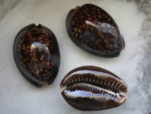 Cypraea mauritiana