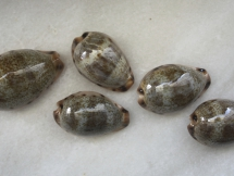 Cypraea xanthodon