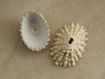 Fissurella nodosa