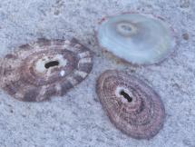 Fisurella nubecula