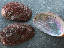 Haliotis coccinea