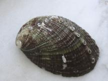 Haliotis-diversicolor-squamata