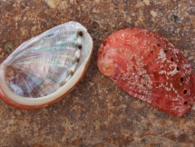 Haliotis tuberculata (f) lamellosa
