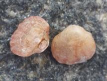 Argyrotheca cuneata