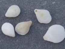 Lacazella mediterranea