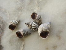 Echinolittorina angustior & Echinolittorina ziczac