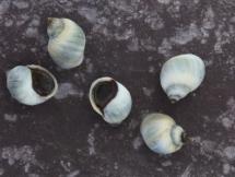 Melarhaphe neritoides