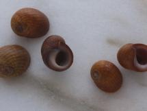 Littorina obtusata reticulata